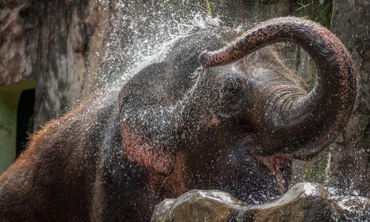Asiatischer Elefant Zoo Hellabrunn