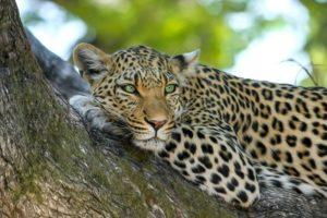 Leopard Zoo Regenwaldhaus