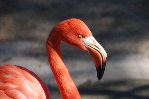 Kuba-Flamingos Krefelder Zoo